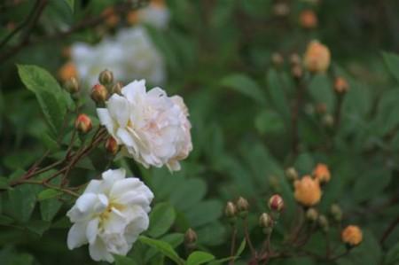146 Camilla Danielssons trädgård myskros 'Ghislaine de Féligonde' vit gul