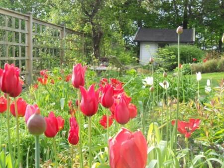 Röda och vita tulpaner i stora entre