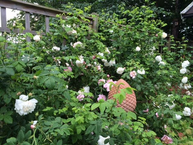 rosor staketet juni
