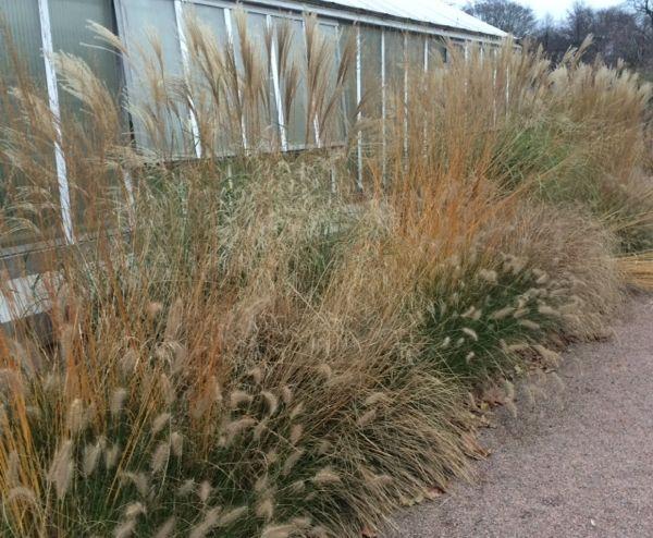 Gräs vid växthuset i Trädgårn