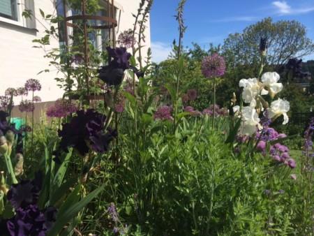 Svart iris i blå rabatten