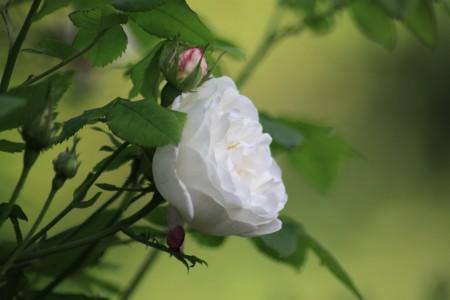 097 Camilla Danielssons trädgård spaljé albaros 'Mme Plantier' vit