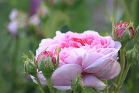 106 Camilla Danielssons portlandros 'Mmme Boll' rosa