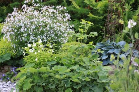 118 Camilla Danielssons trädgård perenn gillenia vit funkia 'Halcyon' grå