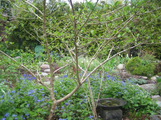 I maj är Vita rabatten väldigt blå av kaukasisk förgätmigej.