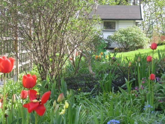 I entrérabatten kommer de röda tulpanerna som är riktiga gladblommor.
