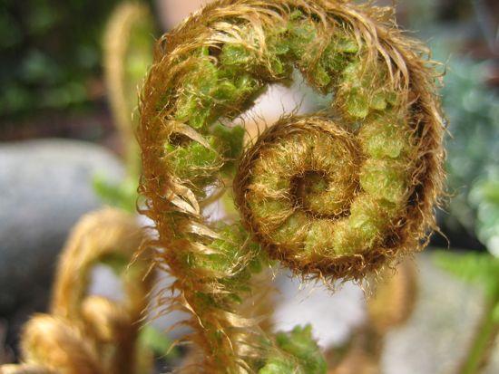 Raggträjonen är en favoritormbunke. Utspringet är bronstonat och ludet. Står grön hela vintern i min trädgård.