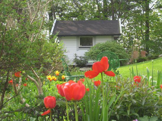 Entrérabattens röda tulpaner glöder i morgonsolen.
