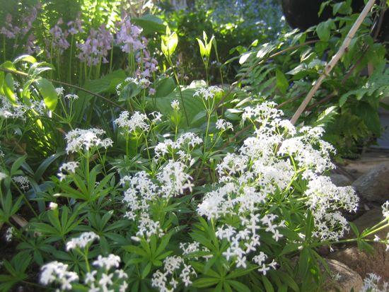 Myskmadra från Ilvas trädgård i Bua. På några år har en liten planta brett ut sig rejält under hosta och guldazalea i Rhododendrongången.