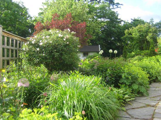 Rosbusken håller formen (till vänster i bilden) en bra bit in i sommaren. Om bara några veckor är rabatten manshög och gömmer effektivt den överblommade rosen.
