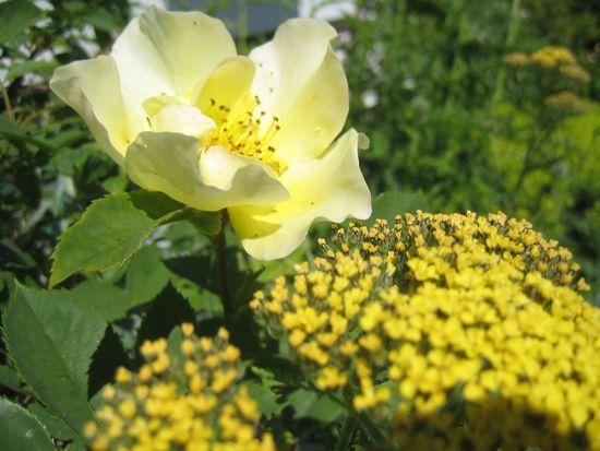 'Golden Wings', den underbara, i sydrabatten med gul rölleka och vitmalört runt fötterna.
