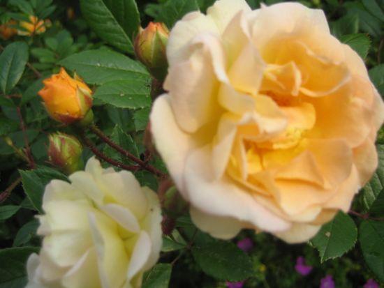 Varje blomma på 'Ghislaine de Feligonde' är ett konstverk i sig självt.
