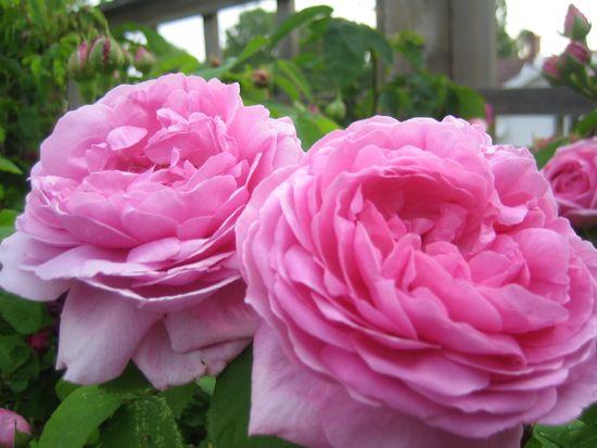 Mme Boll får stora, starkt doftande blommor. En underbar ros.
