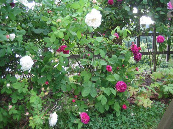 Längs staketet växer varannan 'Mme Plantier' och varannan gallica-ros, här 'Hippolyte'.