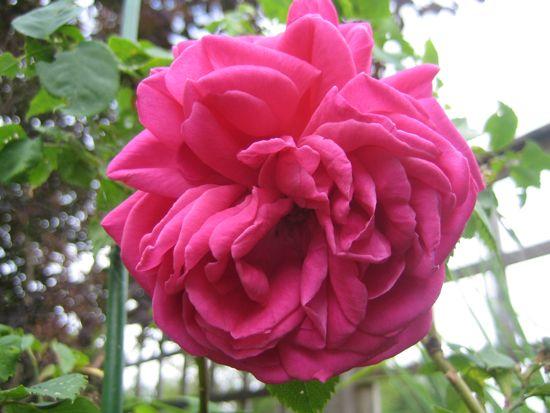 Bourbon-rosen 'Mme Isaac Perreire' är inte den lättaste damen, men väl värd att krusa för.