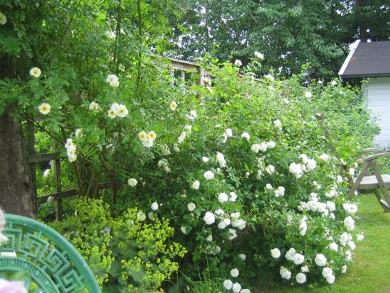 Staket staket rosor : Stackars Charles   Min Trädgård