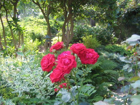 'Nina Weibull' är den enda rosen från förra trädgården som har överlevt mina tidiga räder.