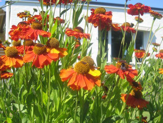 Solbruden 'Waldtraut' blommar i nyanser från lejongult över orange till guldbrunt.