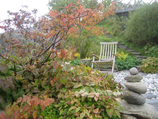 Azaleor och sockblommor får vackra färger på bladen i oktober. Azaleorna står snart nakna men socklommans blad sitter kvar ända till vårvintern när de skall klippas ner.
