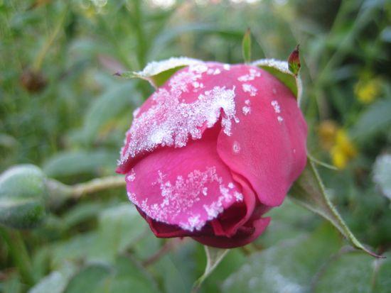 Bourbon-rosen 'Mme Isaac Perreire' hann aldrig slå ut sin sista blomma innan frosten sänkte knoppen.