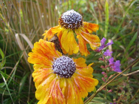 Solbrud 'Waldtraut' har visat sig vara en av trädgårdens bästa perenner. Den har blommat oavbrutet från juli till oktober och ger så mycket glädje bland de mogna tuvrören.