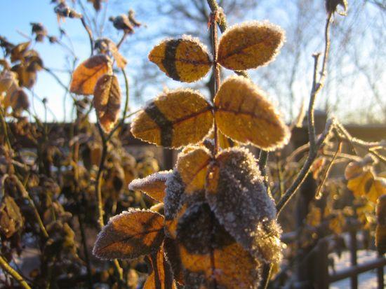 Alba rosen 'Mme Plantier' har behållit sina blad genom hela vintern.