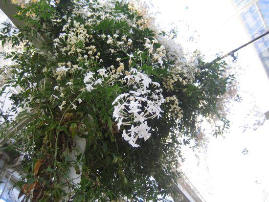 Vippjasminen fyller hela växthuset med en underbar, söt doft. Tre djupa andetag ger aromaterapi som räcker hela eftermiddagen.