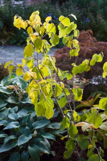 """Foto Eva S Andersson. Trollhasseln 'Arnolds Promise' får tidigt guldgula blad. Mellan bladvecken syns redan nu de små, hårt packade blomknopparna som i februari öppnar sig till apelsindoftande, gula """"rufs""""."""