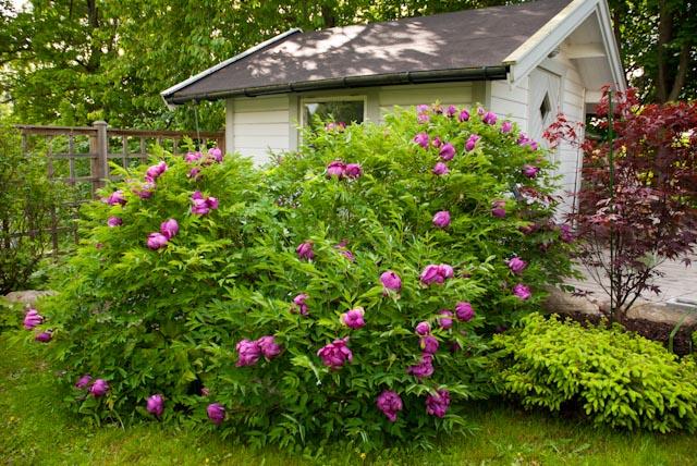 Efter 11 år har den lilla rotbiten utvecklats till en två meter bred buske, översållad med de allra ljuvligaste blommor. Doften känns i hela trädgården. På avstånd låter det som en mindre motorväg när alla humlor och bin festar bland de gula ståndarkuddarna.